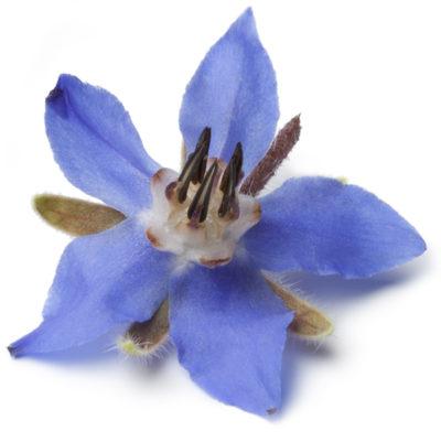 borage_flower